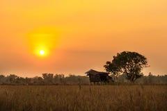 Risfält med solnedgångplats royaltyfria bilder
