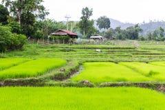 Risfält med stugan i Thailand Royaltyfria Bilder