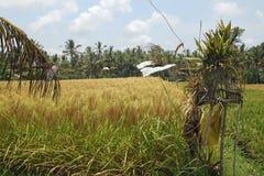 Risfält nära Ubud på Bali, Indonesien Arkivfoto