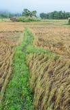 Risfält, når att ha skördat i morgonsikten Royaltyfri Bild