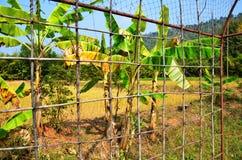 Risfält och banan på Thailand Arkivfoton