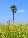 Risfält och blå himmel med suddig trädbakgrund Royaltyfri Fotografi