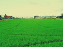 Risfält och himmel Royaltyfri Fotografi