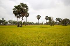 Risfält och palmträd i Cambodja Asien Arkivfoton