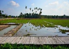 Risfält och träbro med fågelskrämman royaltyfri foto
