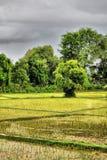 Risfält och träd i bygden i laotiskt fotografering för bildbyråer