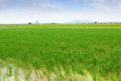 Risfält på den Ebro deltan Royaltyfri Fotografi