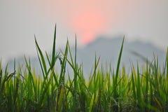 Risfält på gryning Fotografering för Bildbyråer