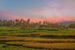 Risfält på Lombok i Indonesien på solnedgången Royaltyfria Bilder