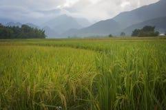 Risfält på skördsäsongen Arkivbild