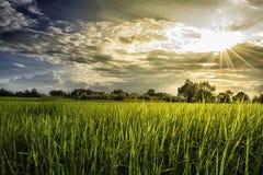Risfält på solnedgångtid med signalljusljus Royaltyfria Bilder