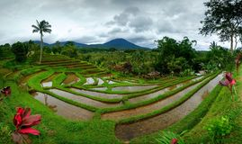Risfält på terrass i Bali Indonesien Royaltyfria Foton