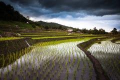 Risfält på terrasserat Royaltyfri Fotografi