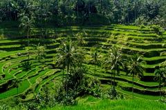 Risfält på terrasserat Arkivbilder