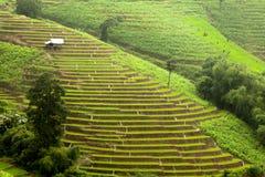 Risfält på terrasserat Arkivbild