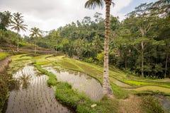 Risfält på Ubud, Bali Royaltyfria Foton