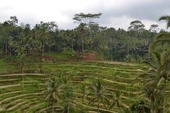 Risfält på vägen till Ubud. Arkivfoton