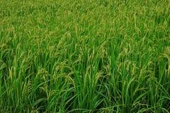 Risfält rispanicle Fotografering för Bildbyråer