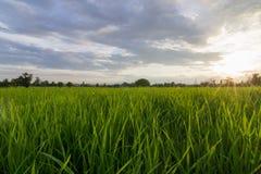Risfält som är nordlig av Thailand Arkivfoto