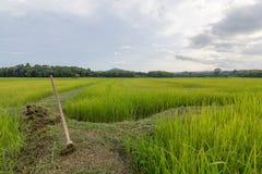 Risfält som är nordlig av Thailand Royaltyfri Foto