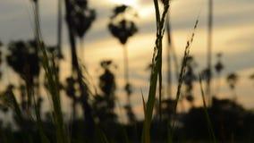 Risfält som flödar från vindslag på fält arkivfilmer