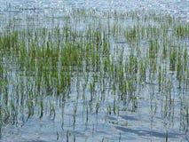 Risfält terrasser, koloni, lantgård En organiskt asiatiskt rislantgård och jordbruk Unga växande ris arkivbild