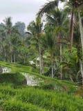 Risfält terrasserar och gömma i handflatan i Bali, Indonesien royaltyfri foto