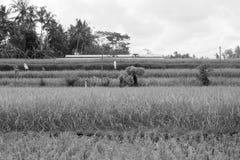 Risfält Ubud, Bali Arkivbild