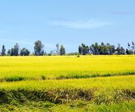 Risfälten Fotografering för Bildbyråer