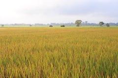 Risfälten i Thailand Arkivbild