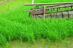 Risfälten växer härlig gräsplan royaltyfri fotografi