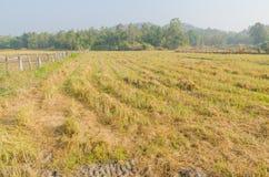 Risfältet efter slut av skördsäsongen royaltyfri bild
