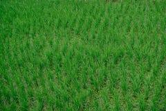 Risfältet i Thailand kan du finna centralen av landet Royaltyfria Foton