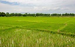 Risfältfält i Terai, Nepal royaltyfri fotografi
