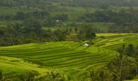 Risfältsikt i Jatiluwih arkivfoto