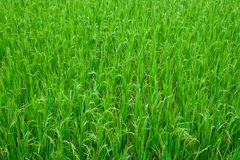 Risfälttextur för grönt gräs Fotografering för Bildbyråer