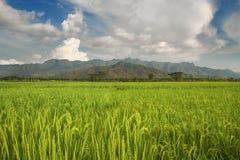Risfält med bergsikt Royaltyfri Foto