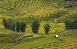 Risfält som terrasseras på av SAPA, Vietnam Risfält förbereder skörden på nordvästliga Vietnam Arkivfoto