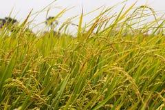 Risgräs i en risfält i Cambodja Asien Arkivbild