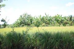 Risgräsplan royaltyfri bild