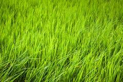 Risgräsplan när vinden arkivbild