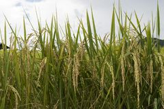 Risgryn på risväxter i risfält Fotografering för Bildbyråer