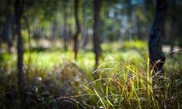 Risig australisk skog Fotografering för Bildbyråer
