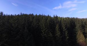 Rising above the high pine trees. Aerial view stock footage