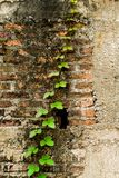 Rising Climber. Climber tree on old and crack brick wall Royalty Free Stock Photo
