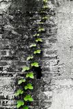 Rising Climber. Climber tree on old and crack brick wall B/W Royalty Free Stock Images