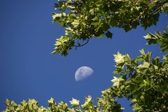 Rising moon surrounded by plane tree leaves. Stacked photo with rising moon and plane tree leaves highlighted by the sun on blue sky royalty free stock photography