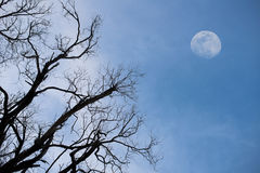 Rising moon and tree. Haunting dead tree branches and a big moon rising Stock Photography