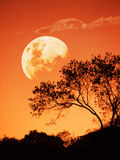 Rising red full moon rise. A big red half moon rises behind a tree in the evening or early morning landscape looking beautiful and huge in the clear orange sky Royalty Free Stock Photography