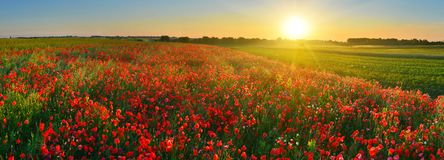 Rising sun above the field of red poppies in summer. Rural landscape at sunrise royalty free stock photo